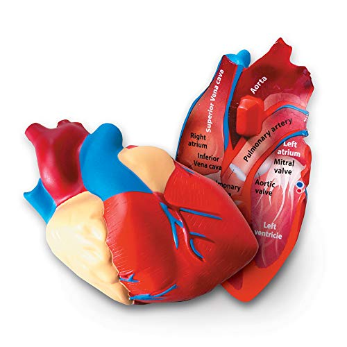 Best Anatomy Toys