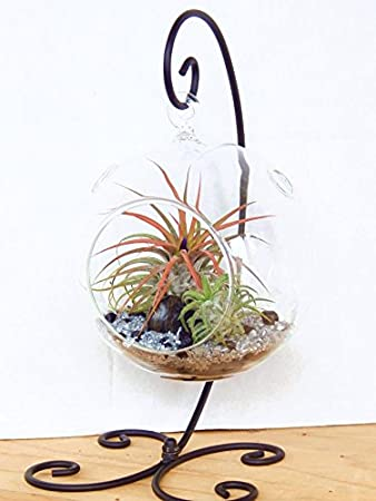 Air Plant Terrarium Kit with 2 Air Plant Tillandsias, Black and Silver  Rocks and Black