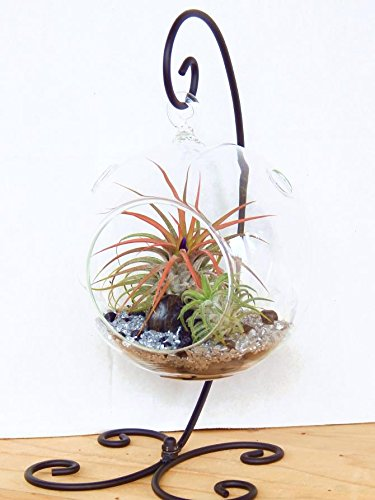 Air plant terrarium kit with 2 air plant tillandsias for Air plant holder ideas