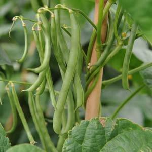 Bean Bush Blue Lake 274 Seed 29 grams of seeds
