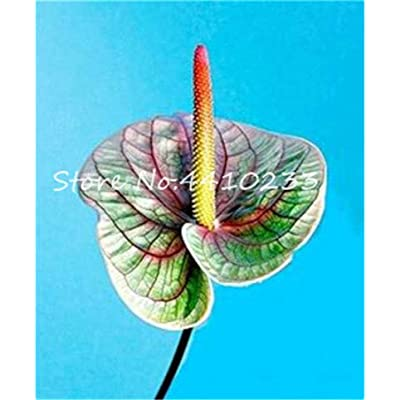 Fotcus 2020 Hot 100 Pcs/Bag Anthurium Andraeanu Bonsai Plants Balcony Potted Anthurium Bonsai Two-Color Flower Plants for Home Garden - (Color: d): Garden & Outdoor