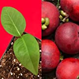Seashore Mangosteen Garcinia Hombroniana Pink Red Fruit Tree Plant