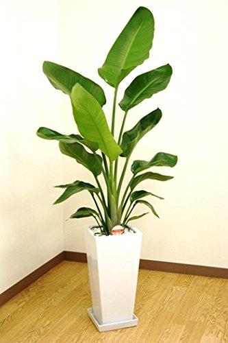 緑俱良部 【観葉植物】ストレリチアオーガスタ 7号角高陶器鉢(白) B076CDVGMH