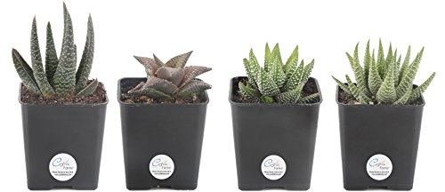 Costa Farms Premium Live Haworthia Succulent Plant, 4 Pack Grower Choice Assortment in 2.5'' Grower Pot by Costa Farms