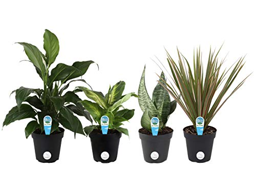 Costa Farms Clean Air-O2 For You Live House Plant Collection