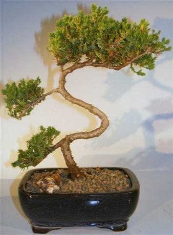 Juniper Bonsai Tree - Trained juniper procumbens nana