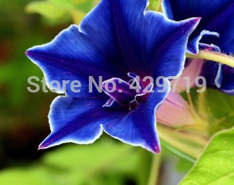 Amazon com : 100 Morning Glory Seeds - Japanese Blue Morning