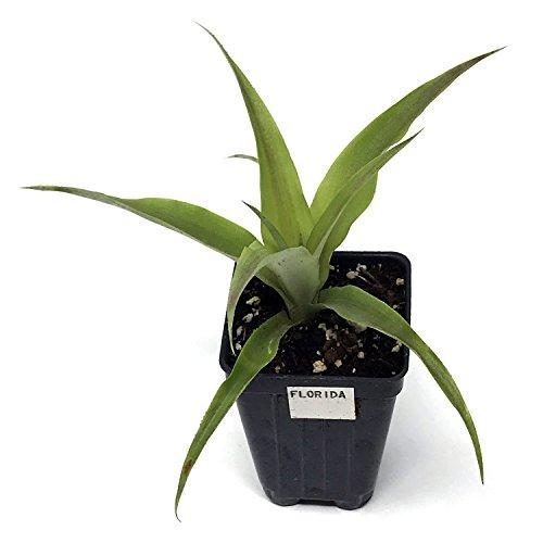 PINEAPPLE PLANT Florida Special Ananas comosus Live Plant