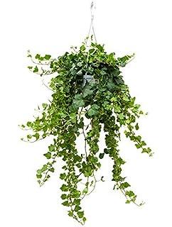 Efeu Zimmerpflanze efeu hedera hängeel grün zimmerpflanze amazon de garten