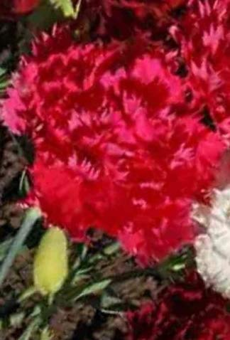Fresh Carnation Dianthus CHABAUD Mix 100 Seeds Cuttings French Bouquets Double Blooms