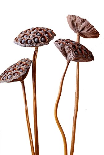 Natural Dried Flower Lotus Pods on Stems With Seed And Real Rod Dried Floral Crafts Pack of 5 (dia ()