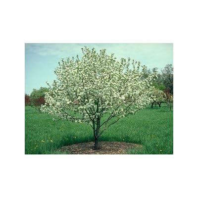 Dolgo Crabapple Tree 2 Year Old 4-5 Ft : Garden & Outdoor