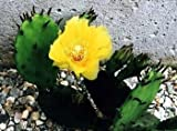 "Winter Hardy Perennial Prickly Pear Cactus - Opuntia - 3"" Pot"