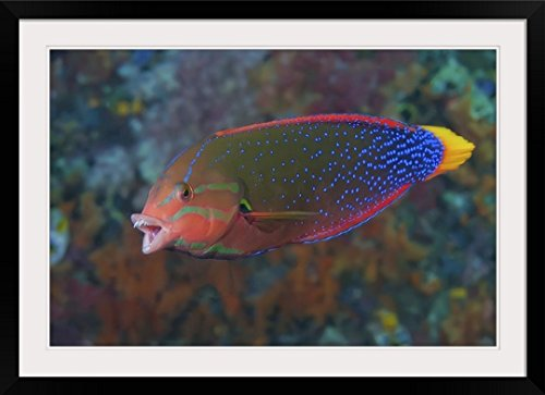 GreatBIGCanvas ''Rainbow Wrasse, Raja Ampat Islands, Indonesia'' Photographic Print with Black Frame, 36'' x 24'' by greatBIGcanvas