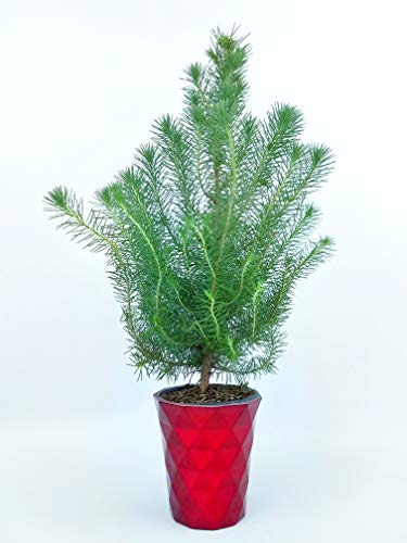 The Pinery Mini Living Christmas Tree, One Size, Red by The Pinery