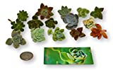 Fat Plants San Diego Miniature Rosette Succulent Cuttings (15)