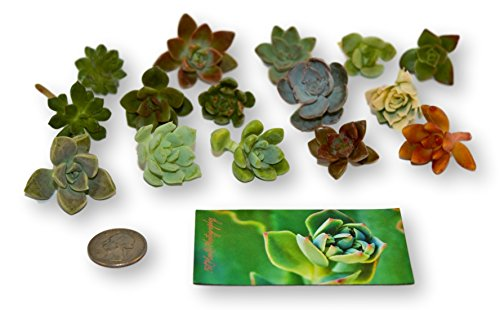 Fat Plants San Diego Miniature Rosette Succulent Cuttings (15) by Fat Plants San Diego