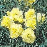 PlenTree Carnation Dianthus Yellow 100 Seeds