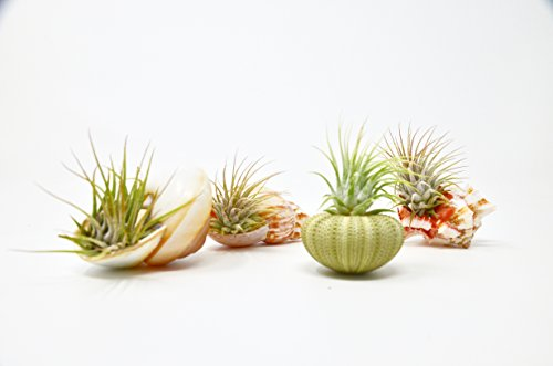 4 Piece Sea Urchin / Seashell Air Plant / Live Tillandsia Ionanthas / 4 Unique Seashells / Home Decor / Gifts / Decoration