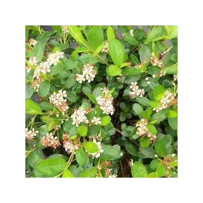 Aronia-Ground-Hog - Quart Pot (Shrub) - New Arrival : Garden & Outdoor