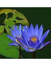 XQxiqi689sy 20 szt./torba nasiona lotosu łatwe w uprawie rośliny kwitnące możliwe do wewnątrz i na zewnątrz wysiewanie bonsai nasiona ogrodowe niebieski
