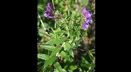Chinese Skullcap 50 herb seeds Scutellaria Baicalensis