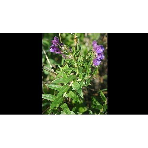 200 Scutellaria Baicalensis (Chinese Skullcap) Herb Seeds
