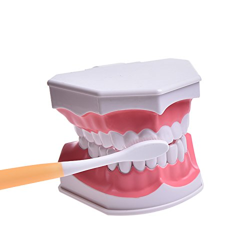 Large Dental Teeth Model (Drawable Pulling Lower Teeth) with Toothbrush (Random Color), for Kids Students Patients Exampling Teaching Studying