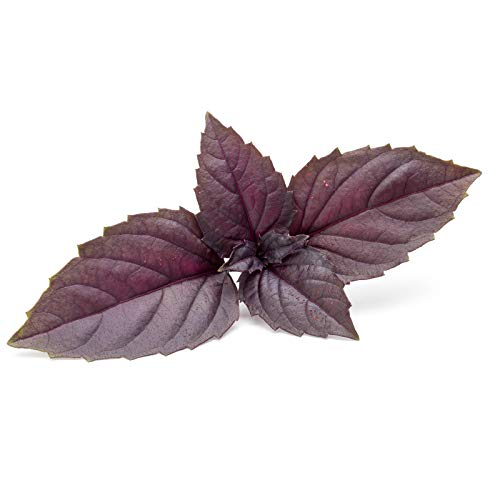 Basil Herb Garden Seeds - Red Rubin - 5 Lb - Non-GMO Herbal Gardening & Microgreens Seeds by Mountain Valley Seed Company (Image #3)