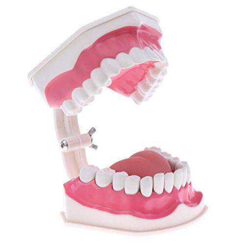 [해외]DYNWAVE 표준 치아 관리 모델에 대 한 칫 솔 인간의 해부학 모델 과학 교실 연구 디스플레이 교육 5.9 x 4.7 x 3.5 인치 / DYNWAVE Standard Teeth Care Model with Toothbrush Human Anatomical Model for Science Classroom Study Display Teachin...