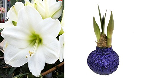 - Glitter Dipped Wax Amaryllis Bulb - Blue - Amazing No Soil/Water Needed to Bloom