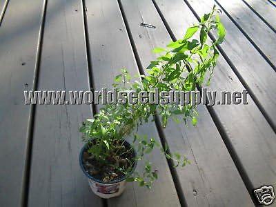 SUN OPENER Seeds Heimia Salicifolia SINICUICHI 500