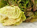 Strawberry Cabbage Lettuce; Sanguine Ameliore Seeds - 30+ Rare Seeds + FREE Bonus 6 Variety Seed Pack - a $29.95 Value! Packed in FROZEN SEED CAPSULES for Growing Seeds Now or Saving Seeds for Years