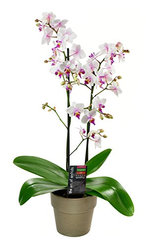 KaBloom Live Orchid Plant Collection: Bicolor Phalaenopsis Orchid Plant (18-24 Inches Tall) in a Terracotta Grey Pot