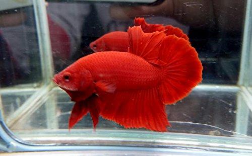 Amazon com : BETTA FISH SUPER RED HMPK MALE : Pet Supplies