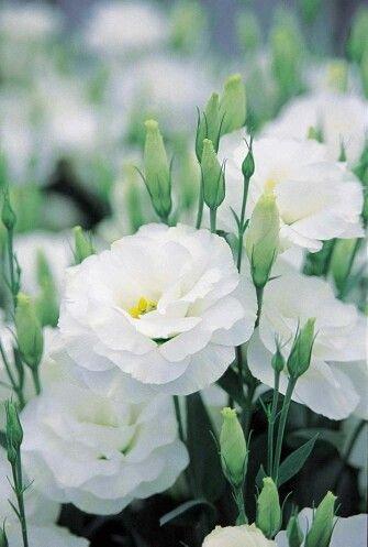 Lisianthus 25 Seeds (25 seeds of Lisianthus Sapphire White Flower)