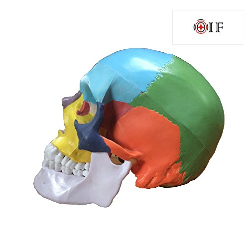 Skull Model,OIF Human Skull Map Anatomical Scientific Included Full Set Teeth Removable Partitioned Skull Model Christmas Halloween Decorated by OIF