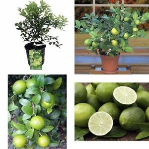 Key Lime Tree Pot 8'' Fruiting Size/Branched Plant Make Outdoor Garden Best Gift