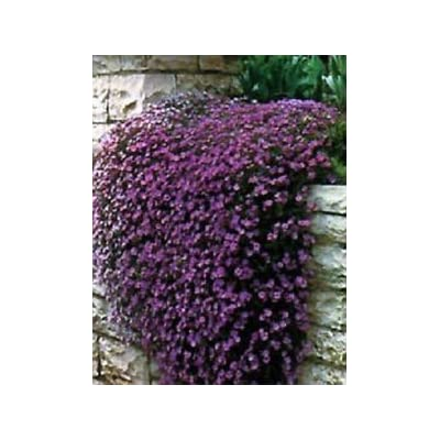 100 seeds of Rock Cress Cascading Purple Aubrieta Seeds (PERENNIAL) : Garden & Outdoor