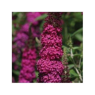 "Buddleia-Miss-Molly - 8"" Jumbo Pot (Shrub) : Garden & Outdoor"