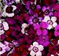Dianthus - Microchips - 500 Seeds
