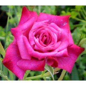 roses bushes - 8