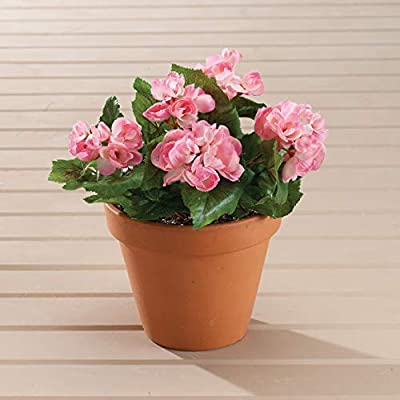 Pink Begonia Bush by OakRidgeTM, Set of 3: Home & Kitchen