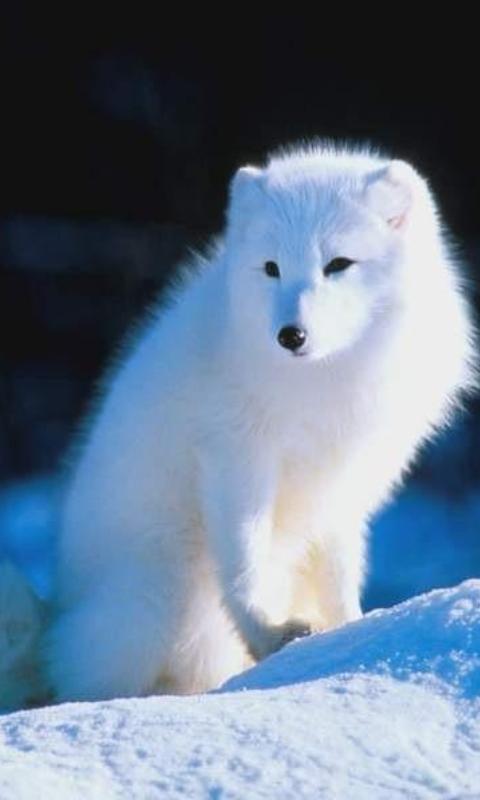 Arctic Fox Wallpaper Amazones Appstore Para Android