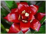 Shopvise 200 Pcs Cactus Bromeliad Rare Colorful Flower Plant Courtyard Mini Plant Succulent DIY Home Garden: 19