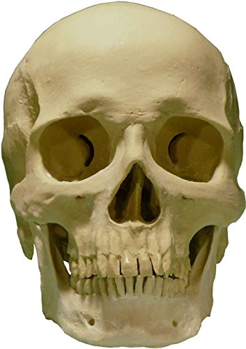 Life-Size Human Skull Replica, by Nose Desserts