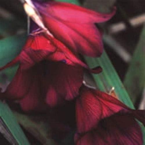 Angel/'s Fishing Rod Dierama Blackbird Lovely Dark Perennial 8 seeds