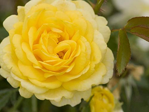 (Easy Elegance High Voltage Yellow Rose - Live Plant - 4