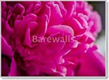Pink Peony Flowers In Garden Paper Print Wall Art (44in. x 60in.)