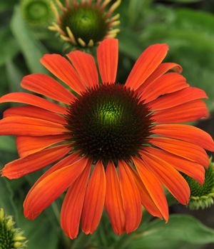 Julia Coneflower Flower Seed Pack with Planting Instructions Echinacea Seeds